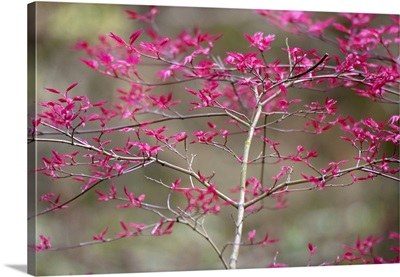 New Leaves on Tree in Spring, Selective Focus