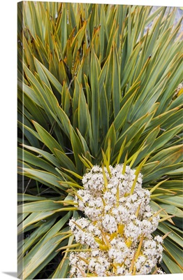 New Zealand, South Island, Big Hill Range. Blooming Spear grass