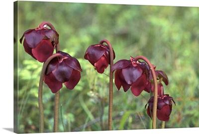 North America, Canada, Newfoundland, Pitcher Plants