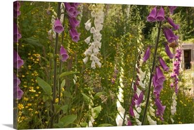 North America, Canada, Queen Charlotte Islands, Fox glove blooms