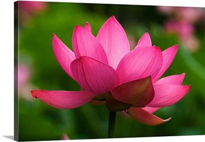 North Carolina; Lotus blossom