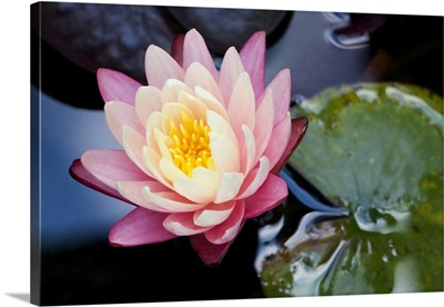 North Carolina; Water lily blooming in a garden