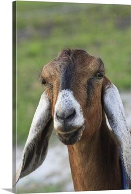 Nubian goat (doe) Bushnell, FL