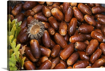 Oak acorns that will be seeded with truffles spores, Truffle Farm, France