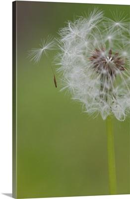 Ohio, Cincinnati. A seedling falls off a dandelion clock