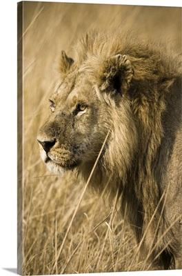 Okavango Delta, Botswana. Close-up of a male lion