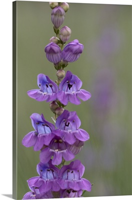 Onesided Penstemon
