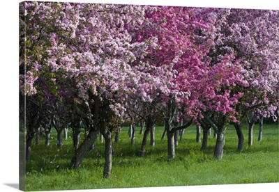 Ontario, Ottawa, Grove of cherry trees with variations in blossom color