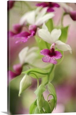Orchid, Calanthe vestita