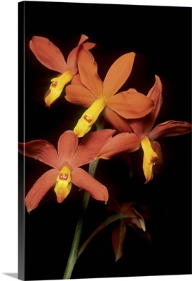 Orchid, Guatemala highlands