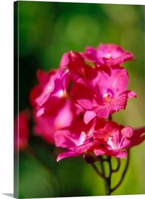 Orchids, Caribbean