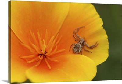 Oregon, Multnomah County. Crab spider on poppy flower