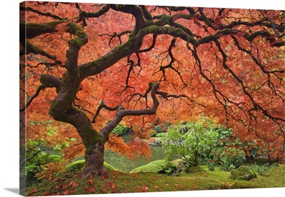 Oregon, Portland. Japanese maple tree next to pond at Portland Japanese Garden