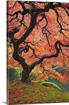 Oregon, Portland. Japanese maple trees in autumn color at Portland Japanese Garden