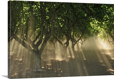 Oregon, Portland. Sunlight casts shadows through hazelnut trees and dust in orchard