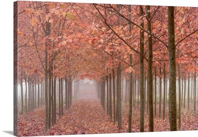 Oregon, Willamette Valley. Rows of autumn-colored maple trees in fog