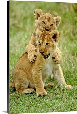 Pair Of Lion Cubs Playing, Masai Mara Game Reserve, Kenya