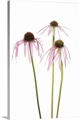 Pale Purple Coneflowers, Marion County, Illinois, USA