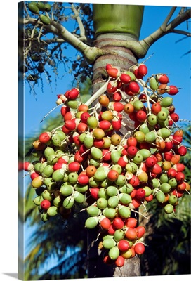 Palm fruits, Antigua, West Indies, Caribbean, Central America