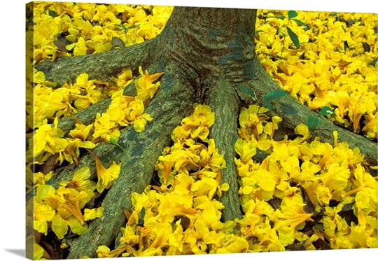 Panama barro colorado island carpet of yellow flowers on forest panama barro colorado island carpet of yellow flowers on forest floor mightylinksfo