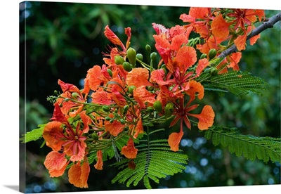 Panama City, Panama, Royal Poinciana