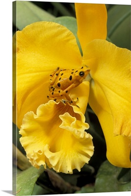 Panama, El Nispero Region, Golden Frog on Yellow Bird Orchid