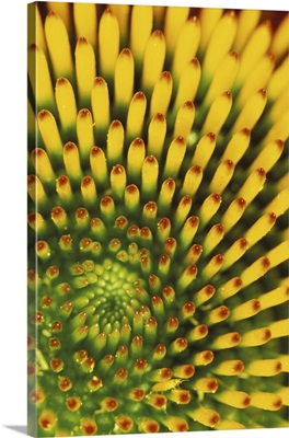 Pattern in cone of Purple Coneflower