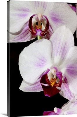 Phalaenopsis hybrid orchids