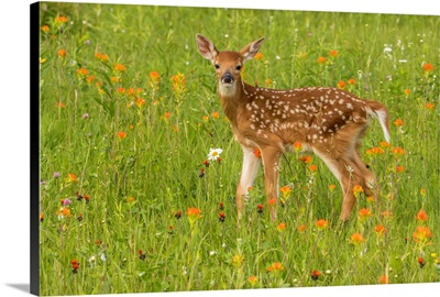 Pine County, Captive Fawn