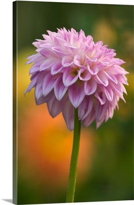 Pink dahlia with orange and yellow out of focus flowers in background