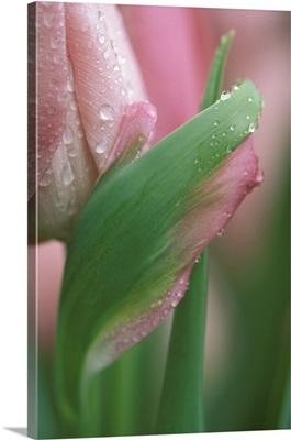 Pink tulip close-up, in garden