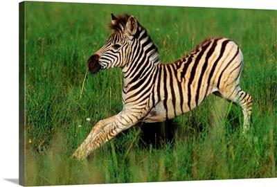 Plains Zebra Foal, Midmar Game Reserve, Midlands, Kwazulu-Natal, South Africa