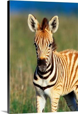 Plains Zebra Foal, Tala Private Reserve, Midlands, Kwazulu-Natal, South Africa