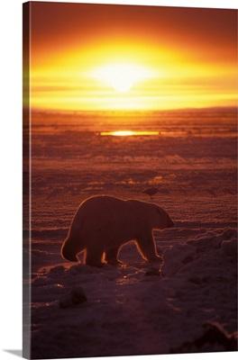 Polar bear on pack ice of frozen coastal plain, Arctic National Wildlife Refuge, Alaska