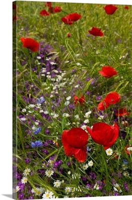 Poppy Flowers, Istria, Croatia, Eastern Europe, Balkan, Europe