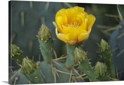 Prickly pear cactus in bloom, Arizona-Sonora Desert Museum, Tucson, Arizona