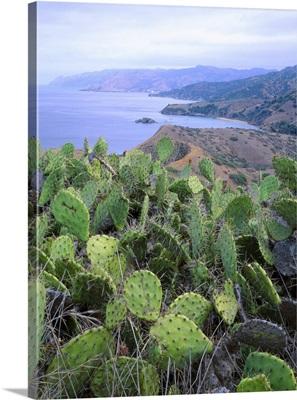 Prickly pear cactus on ridge above Emerald Bay, Santa Catalina Island, CA