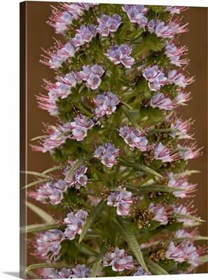 Pride of Madeira flowers, garden, Los Angeles, California