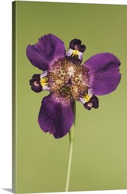 Propeller Flower, Alophia drummondii, Iridaceae, blossom, Willacy County, Texas