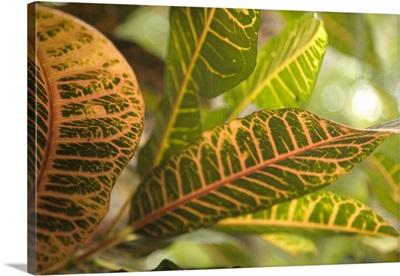 Puerto Rico, Ponce, Colorful leaves of Croton plant