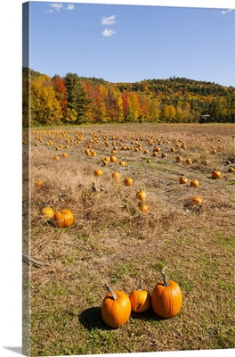 Pumpkin Patch And Autumn Leaves In Vermont Countryside
