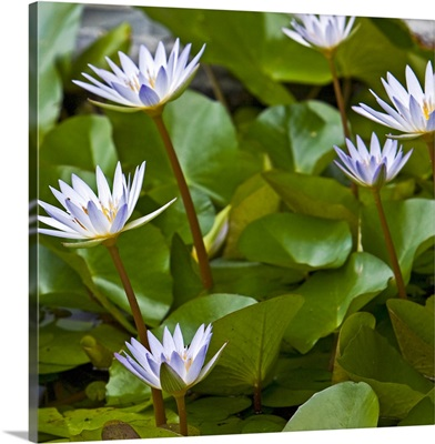 Pygmy Water Lily (Nymphaea X Daubeniana Vivparous)