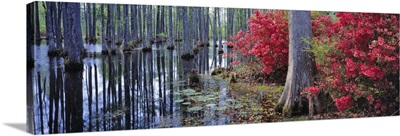 Red azaleas and pond lilies blooming, Cypress Gardens, South Carolina