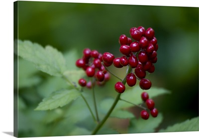 Red Berries Close-Up