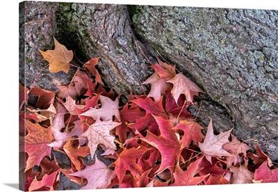 Red Maple Leaves, Massachusetts, USA