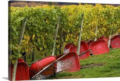 Red wheelbarrows at the edge of vines of Gehring Brothers Vineyards in Okanagan Valley