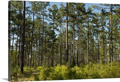 Remaining 3 of the Longleaf Pine Forest, Telfair County, Georgia