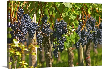 Ripe bunches of Merlot grapes in a row in the vineyard, Bordeaux, France