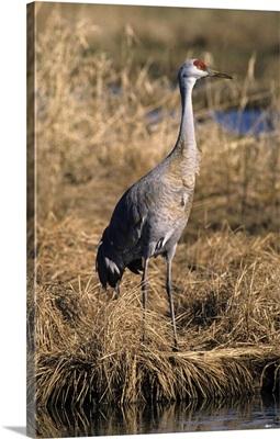 Sandhill crane Canada