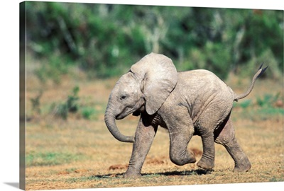 South Africa, Addo Elephant Nat'l Park. Baby Elephants By Water Hole.